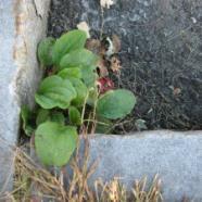 Common Plantain: Wayfarers All