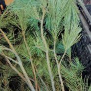 White Pine: Wake Up and Breathe