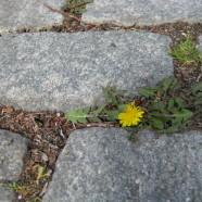 All Roads Lead to Dandelions