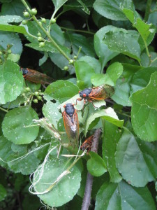 cicada 036