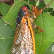 Magic Cicada