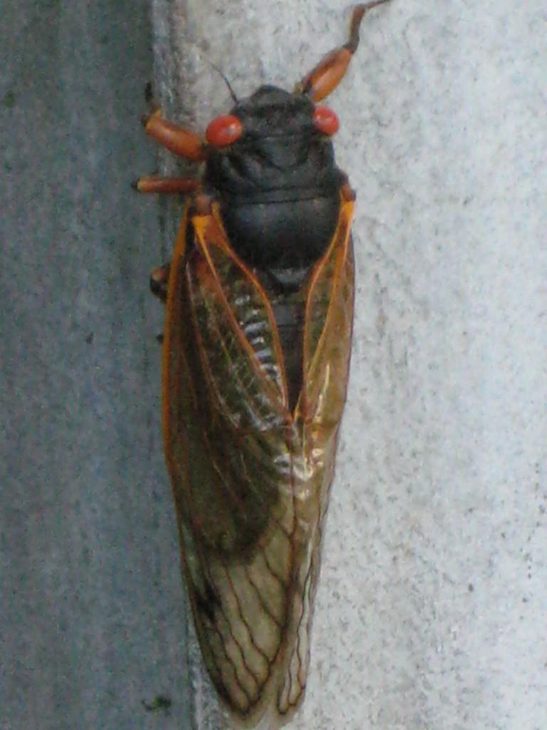 cicada 044
