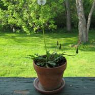 Dandelion: Easy to Grow