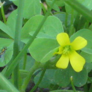 Yellow Wood Sorrel: Inspecting a Lemon