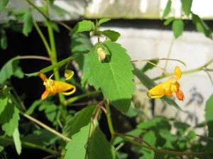 jewelweed 014