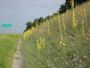 mullein along highway