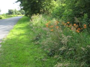 roadside day lilies