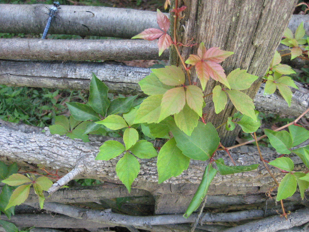 virginia creeper three leaves