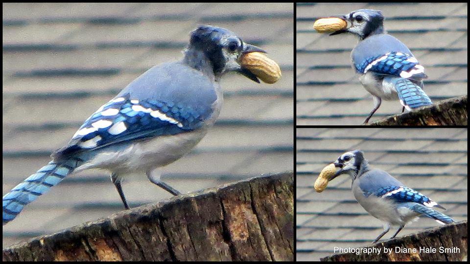 blue jay with peanut diane hale smith
