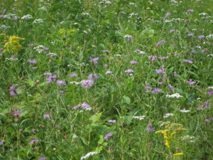 brown knapweed in meadow