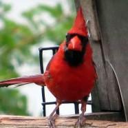 The Angry Cardinal