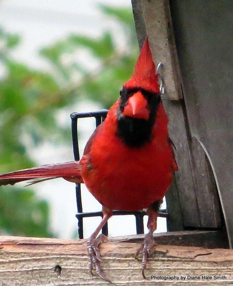 diane hale smith angry cardinal