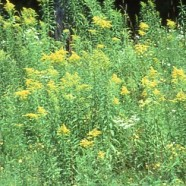 Goldenrod: Does Not Cause Hay Fever