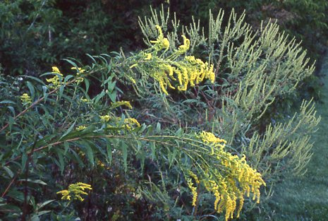 goldenrod ragweed frank knight