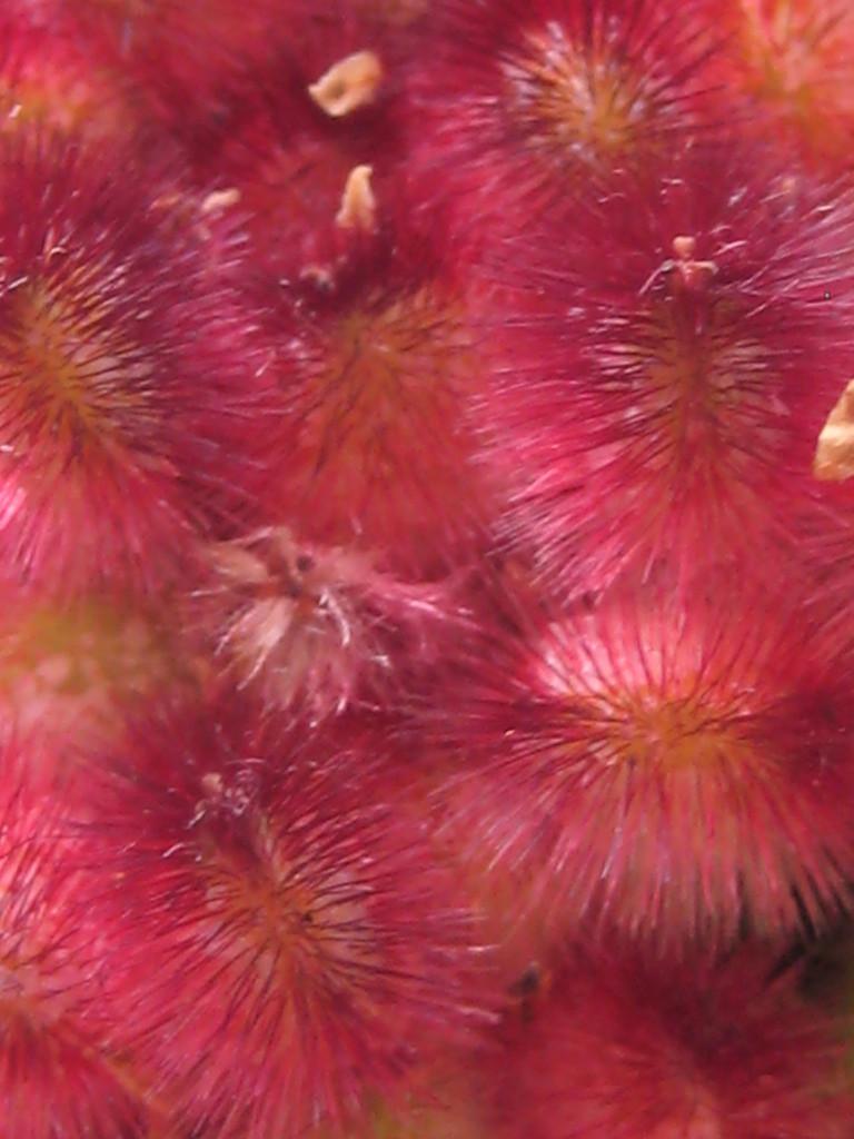 sumac berries close up