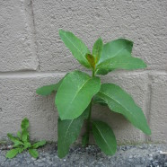Milkweed: Tough Native