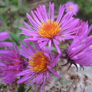 New England Asters: North of the Border
