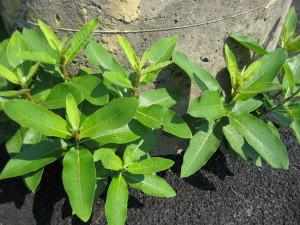 milkweed hardy growth