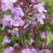 Wild Thyme: Bee Harvest