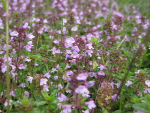 wild thyme in bloom