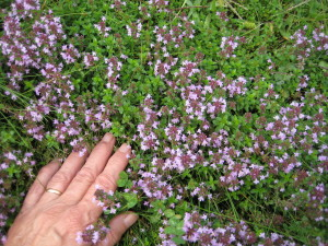 wild thyme patch