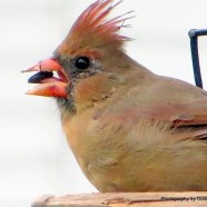 The Dishevelled Cardinal