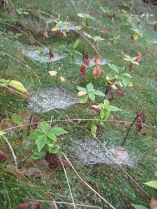 spider webs in grass