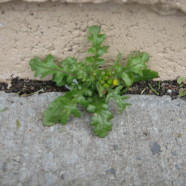 Groundsel: A Little Poison