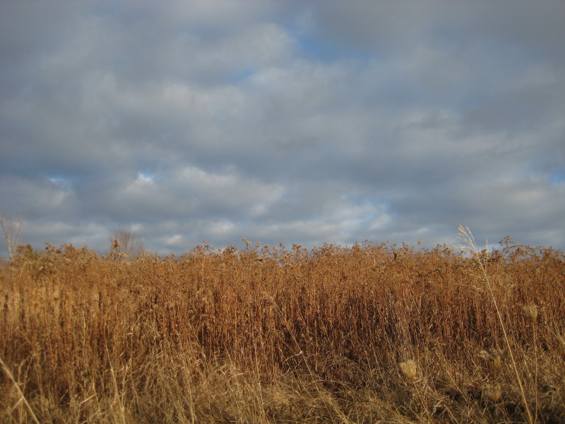 winter goldenrod field