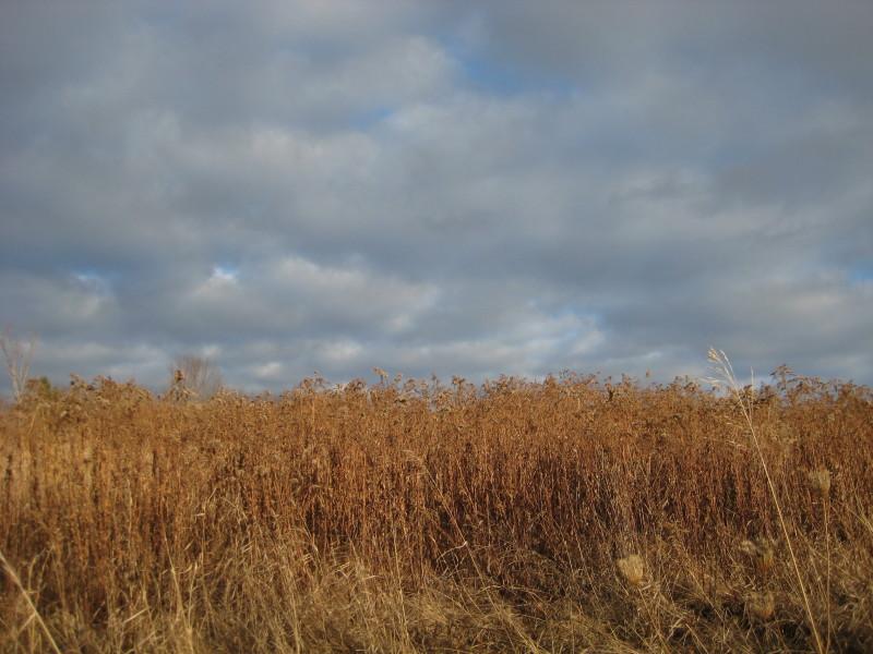 winter goldenrod field