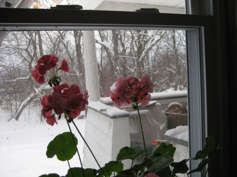 geraniums in window 023