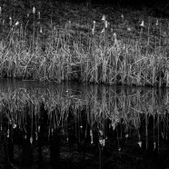 Cattails: Winter Warmth