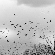 Crows in the City: Should We Run?