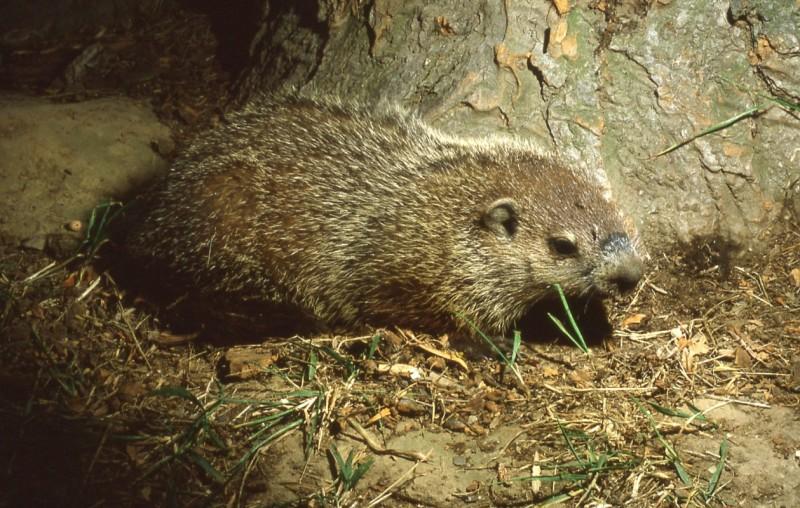 frankknightgroundhog