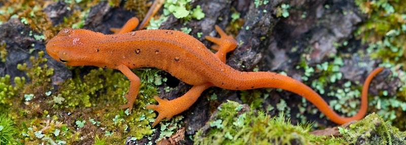 red eft salamander wells horton