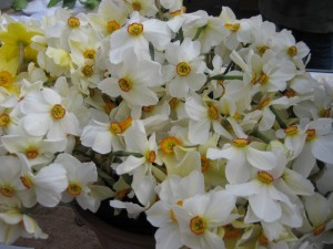 daffodils 043