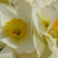 Daffodils: Who Doesn't Love Them?