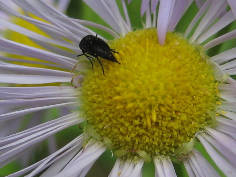 insect pollinator on fleabane