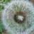 Dandelion Seeds: Prickly Fluffballs