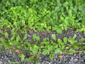 poison ivy and dandelions roadside