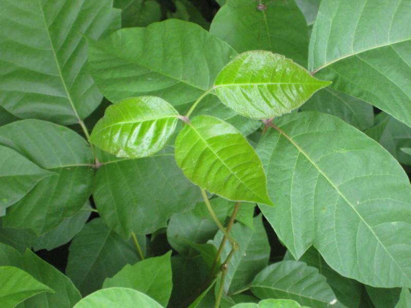 shiny poison ivy leaves