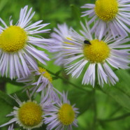 Daisy Fleabane: Does It Get Rid of Fleas?