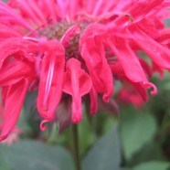 Bee Balm, Year Two