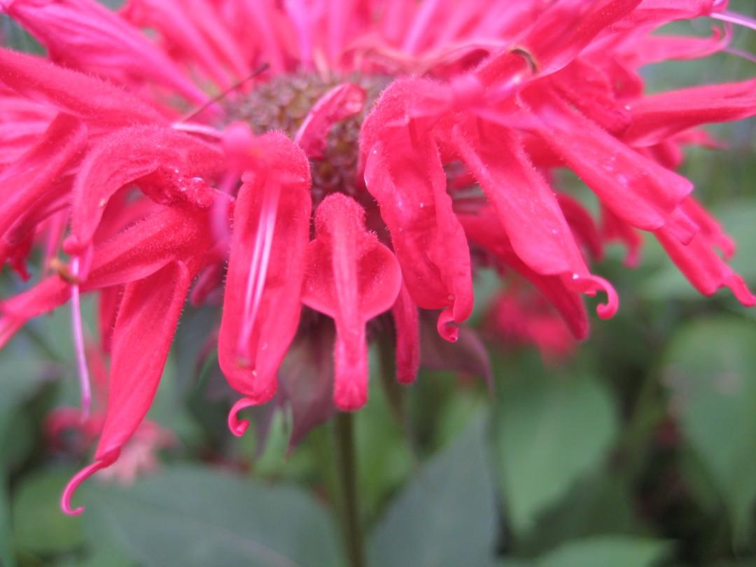 bee balm close-up