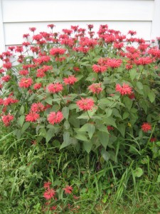 bee balm clump