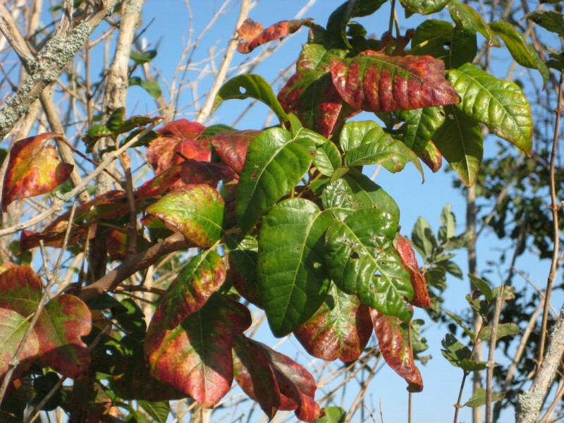 poison ivy fall foliage