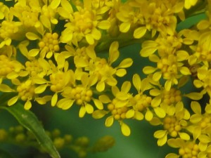 goldenrod flower close-up