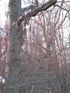 wild grapes in winter