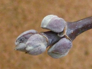 box elder buds