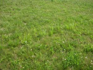 organic lawn clover